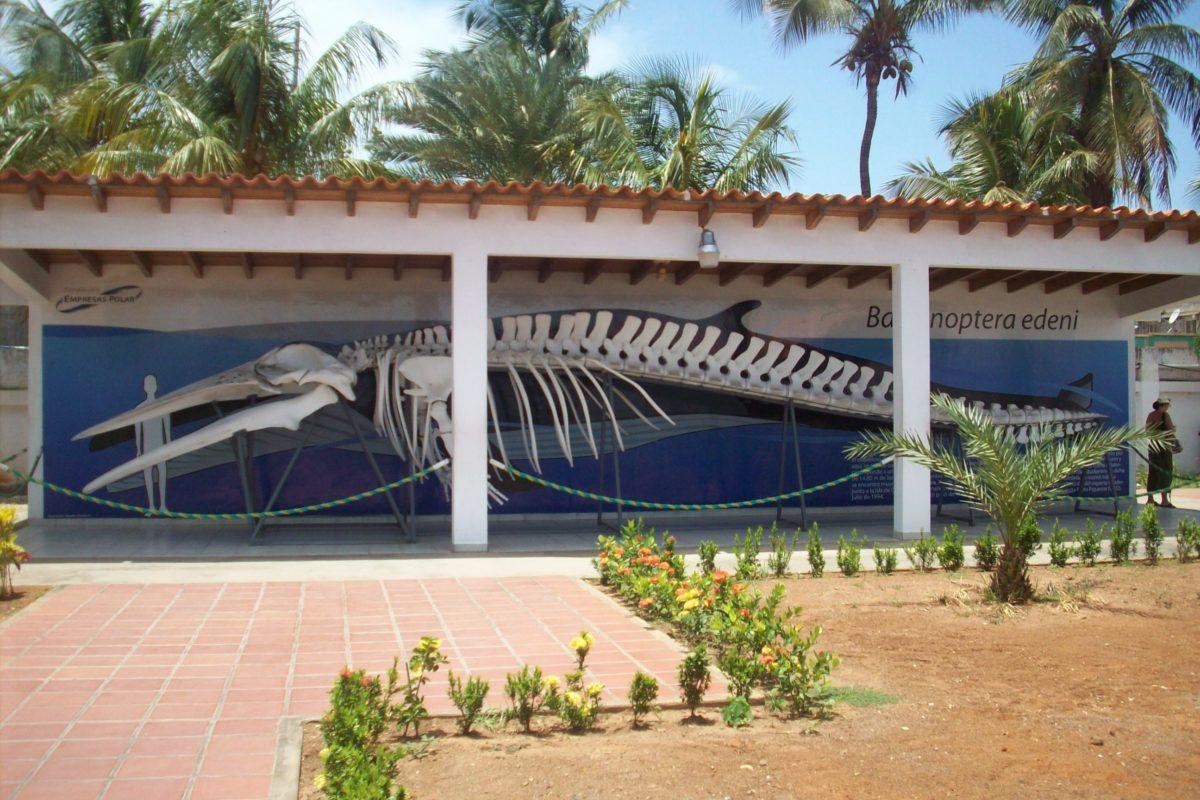 Crisis ONG Venezuela. Esqueleto de ballena en la entrada del Museo Marino de Margarita. Foto: Museo Marino de Margarita.