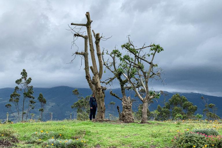 Alberto Cahuasquí, residente de Pucará Alto, visita lo que queda de Pinkul Tayta, un árbol sagrado que se cree que protegía los espíritus de cientos de niños sin nombre enterrados en su base en el siglo XX. Foto de Johnny Magdaleno.