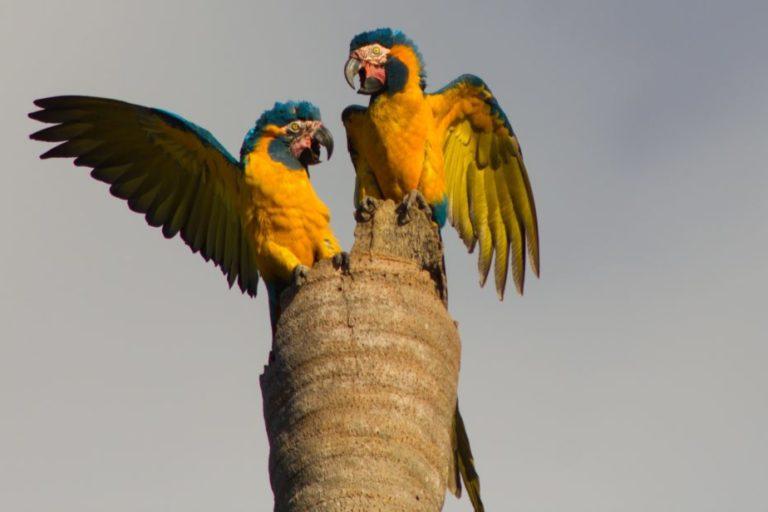 La investigación permitió seguir a esta ave endémica de Bolivia. Foto Tjalle Boorsma / Armonía.