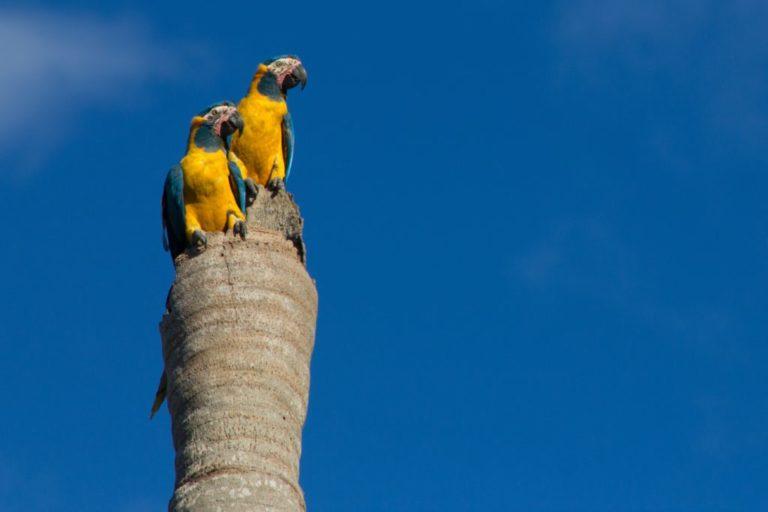 La paraba barba azul es una especie endémica de Bolivia. Foto: Asociación Armonía.