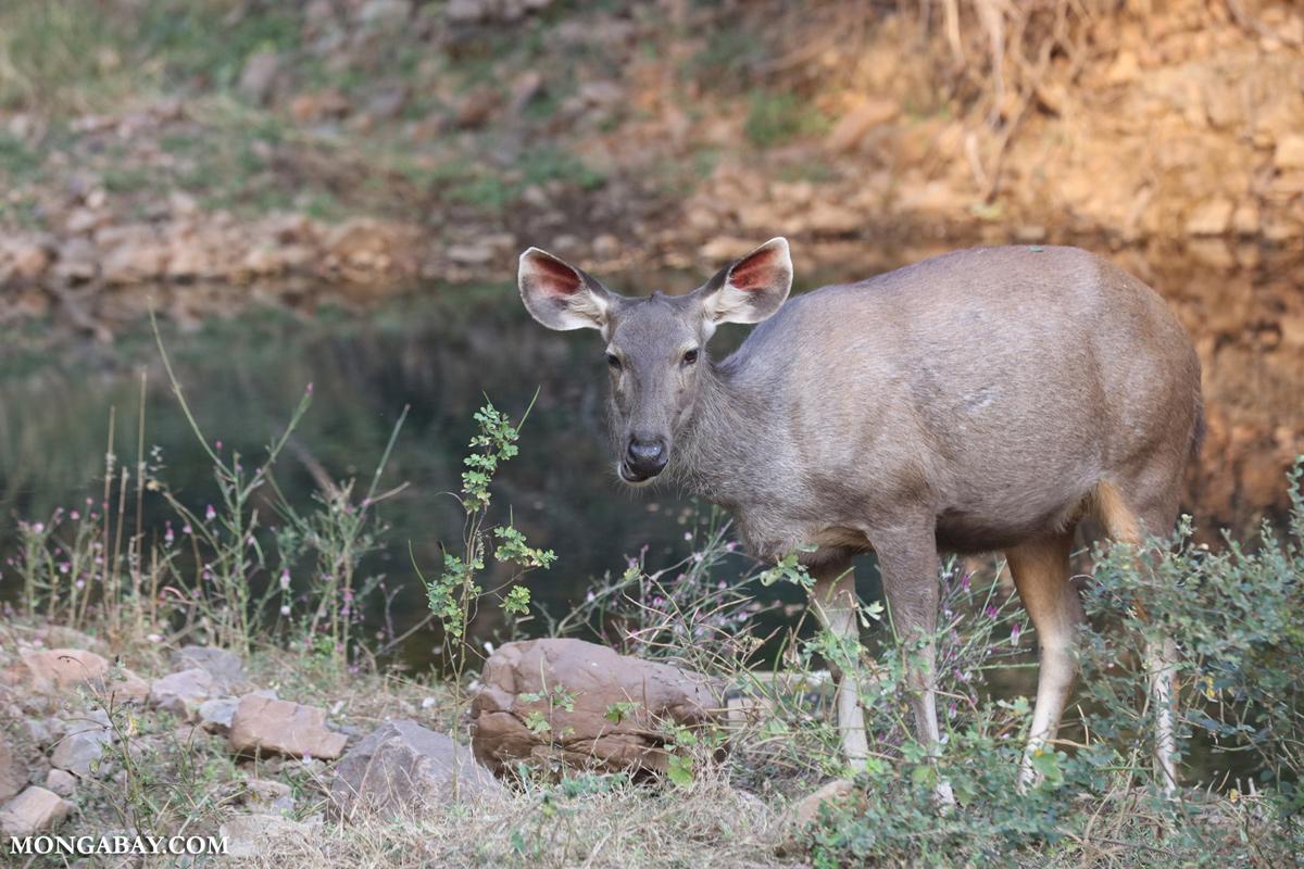 Ciervo sambar en la India. Foto: Rhett A. Butler / Mongabay