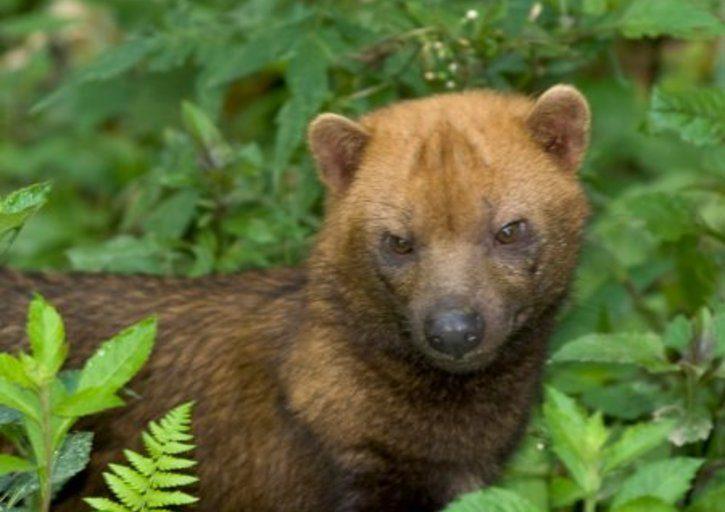 El perro de monte es un animal que habita en Centro y Sudamérica. Foto: UICN.
