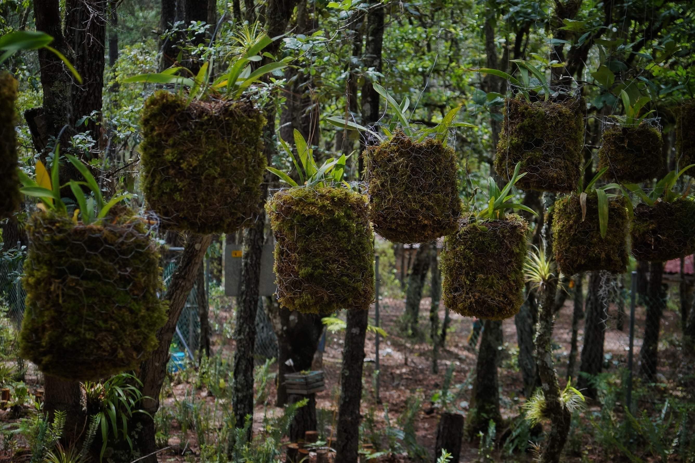 Orquídeas-Ixtlán-manejo forestal