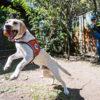 Perro rastreador de felinos. Cuando Tigre no está trabajando, se dedica a ser mascota. Solo hay que tener un cuidado: no puede jugar con bolas. Esas están reservadas como recompensa por el buen trabajo. Foto: Ian Thomson.