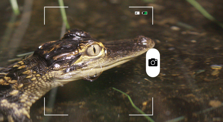 Composición a partir de una foto de un joven caimán del río Misisipi. Foto: Rhett A.Butler / Mongabay
