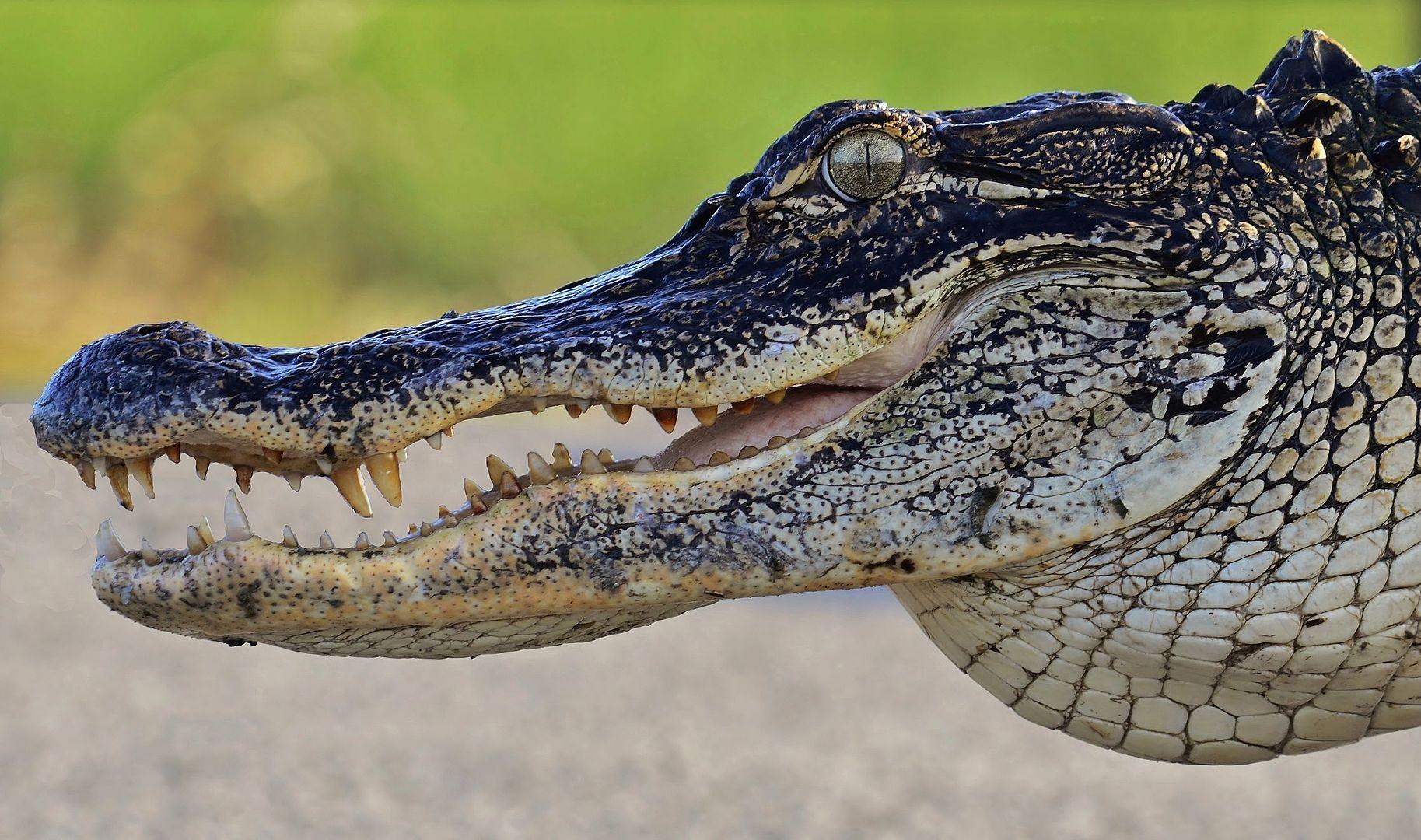Un caimán del río Misisipi muestra sus dientes. Foto: Gareth Rasberry - Wikimedia Commons.