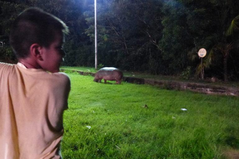 Hipopótamos en Colombia. En varios municipios del Magdalena medio ya es común convivir con los hipopótamos. Foto: Juan F. Reatiga.