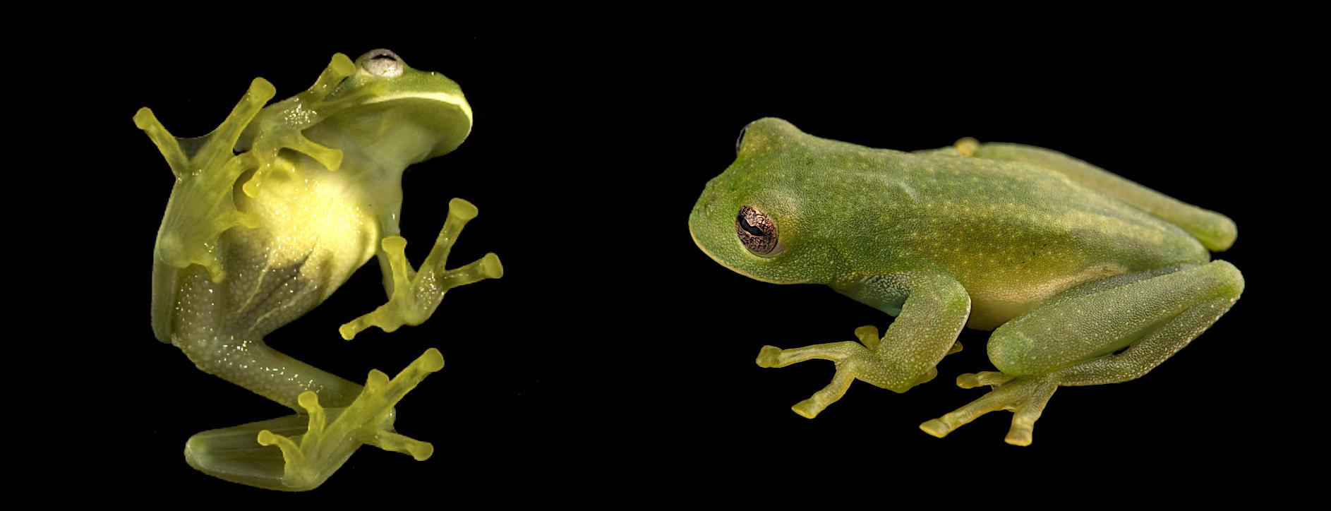 Ranas de cristal. Centrolene buckleyi. Especie críticamente amenazada. Foto izquierda: Eduardo Toral. Foto derecha: Diego Acosta-López.