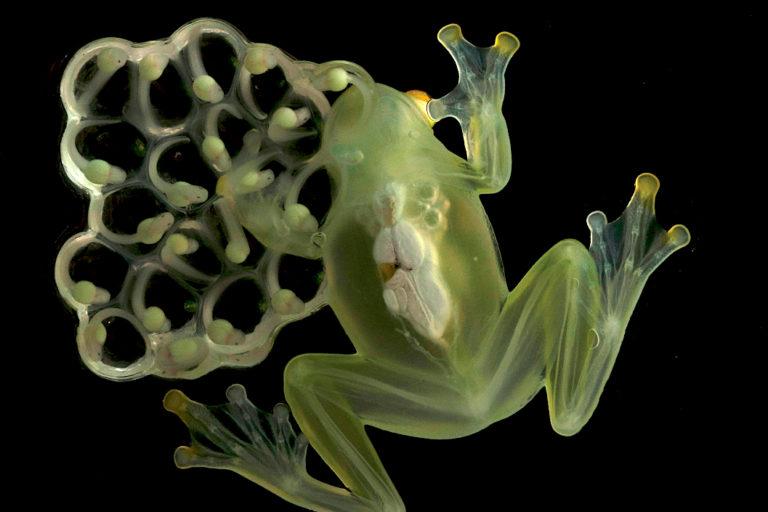 Ranas de cristal. Hyalinobatrachium aureoguttatum. Macho cuidando puesta. Foto: Luis A. Coloma.