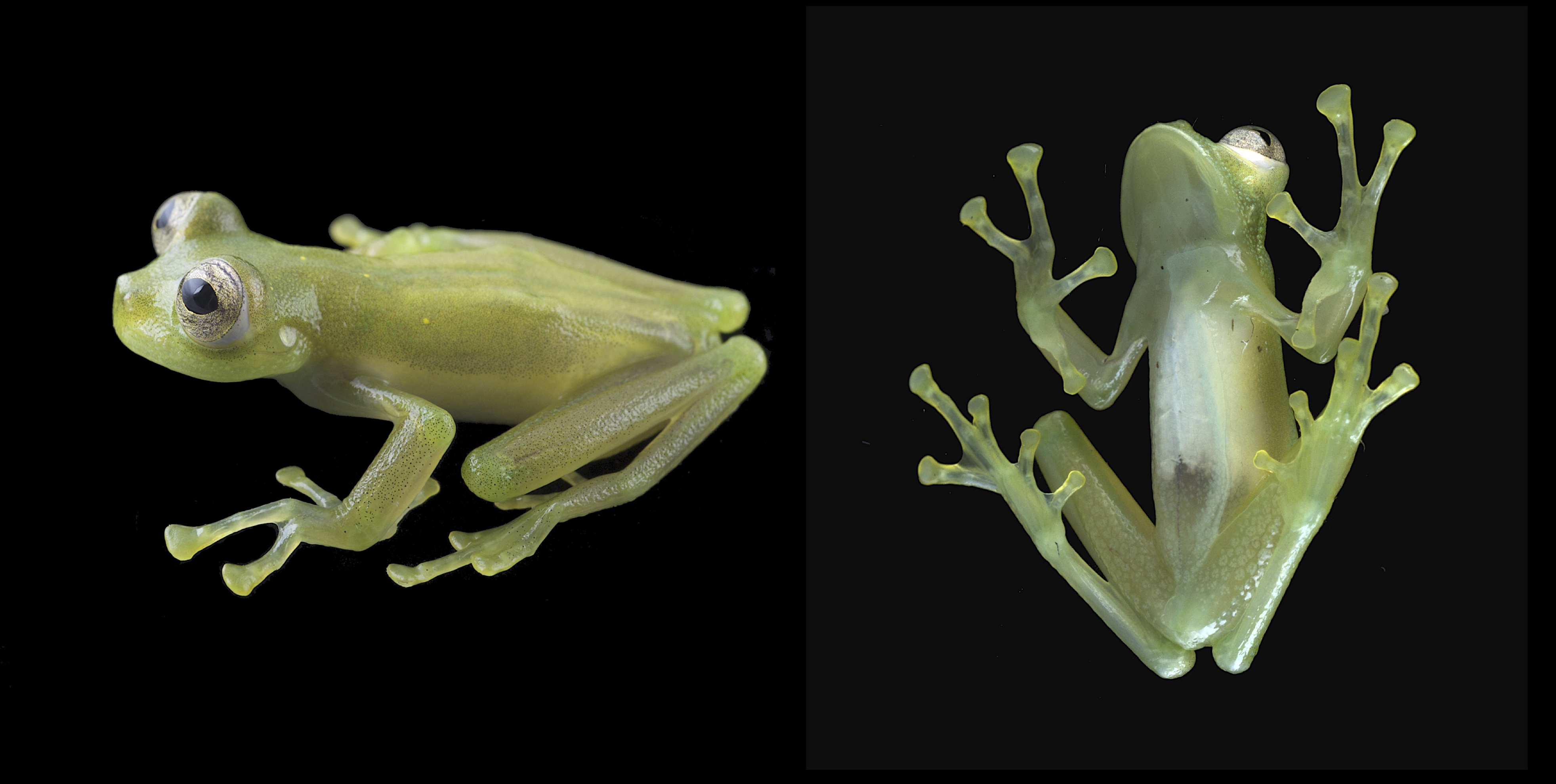 Ranas de cristal. Nymphargus humboldti. Especie nueva descrita por Juan Manuel Guayasamin y colaboradores. Fotos: Luis A. Coloma.