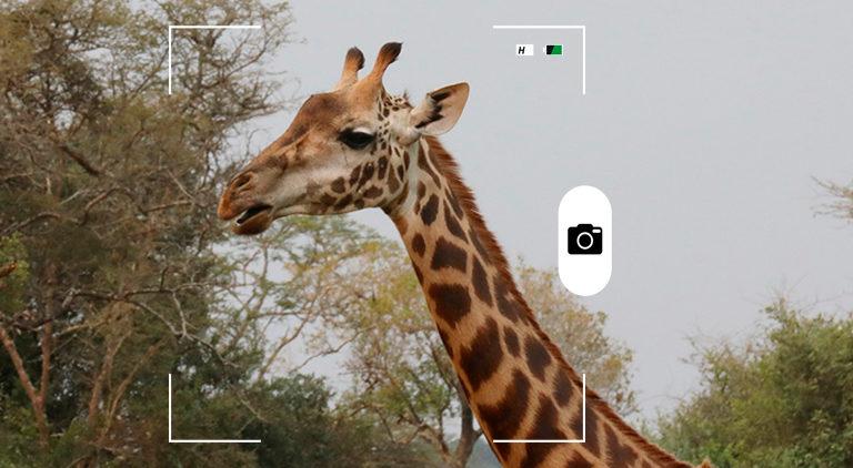 Composición para Candid Animal Cam con una fotografía de una jirafa. Crédito: Rhett A. Butler / Mongabay