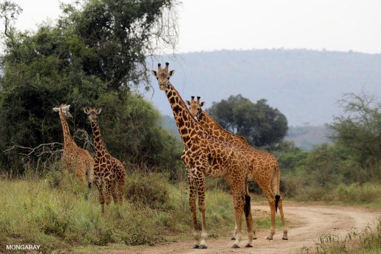 Una manada de jirafas en el Parque Nacional Akagera, Ruanda. Foto: Rhett A. Butler / Mongabay