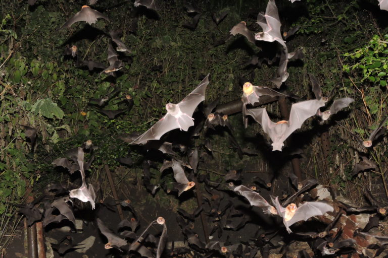 Proyecto Sonozotz-México-Murciélagos