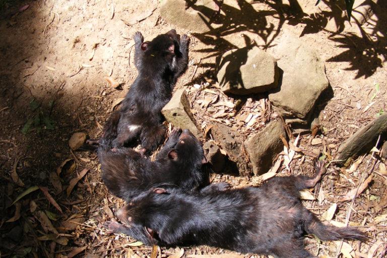 Jóvenes demonios de Tasmania descansando al sol. Foto: tearsxintherain / Wikimedia Commons