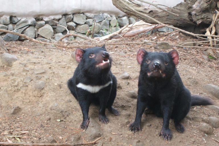 Dos demonios de Tasmania, uno con mancha blanca en el pecho y otro sin ella. El 61% de los animales de la especie presentan la marca. Foto: Willis Lim / Wikimedia Commons