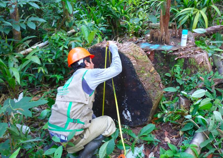 Osinfor realizó inspecciones en bosques como parte de la Operación Amazonas. Foto: Osinfor.