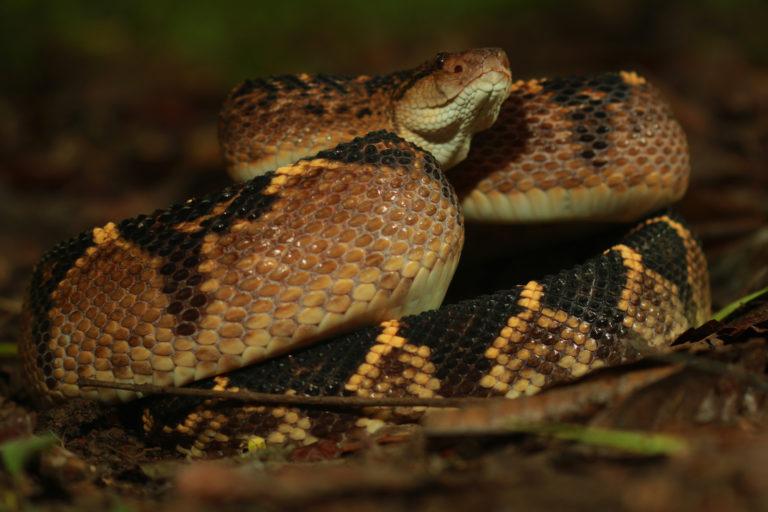 Día internacional de las serpientes. El veneno de la verrugosa es utilizado en la fabricación de medicamentos. Foto: Germán Chávez.