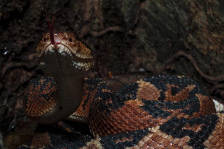 Día internacional de las serpientes. La verrugosa, a pesar de ser venenosa, no suelta a su presa hasta que esta muere. Foto: Germán Chávez.