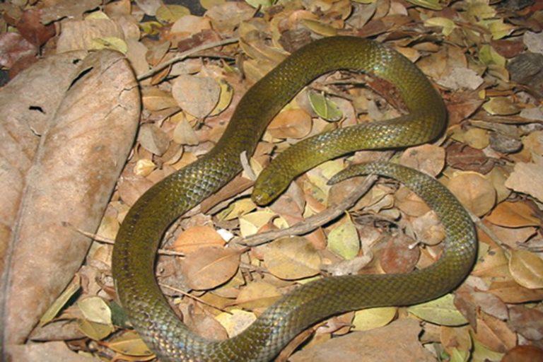 Día internacional de las serpientes. Culebra tierrera de Carrión (Atractus carrioni). Foto: ©Jorge H. Valencia - Bioweb.