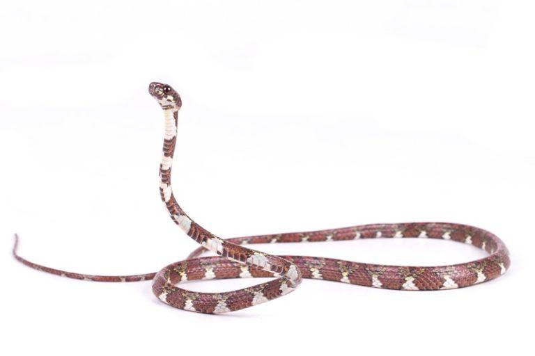 Día internacional de las serpientes. Caracolera anillada (Sibon annulatus). Foto: ©Maricela Rivera - Bioweb.
