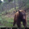 Osos-México-comunidad forestal