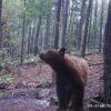 osos negros-México