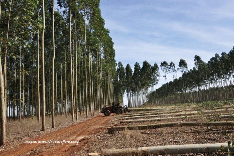 Las extensas plantaciones de eucalipto ocasionan degradación y erosión de los suelos, según estudios. Foto: Nuestra Flora.