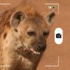 Composición para Candid Animal Cam a partir de una foto de una hiena manchada en la Zona de conservación de Ngorongoro. Crédito: Rhett A. Butler / Mongabay