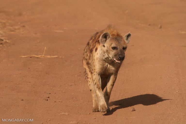 Una hiena manchada en la Zona de conservación de Ngorongoro. Foto: Rhett A. Butler / Mongabay