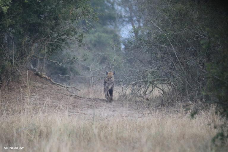 Una hiena manchada en el Parque Nacionl Akagera de Ruanda. Esta especie puede formar clanes que superan los 80 individuos. Foto: Rhett A. Butler / Mongabay