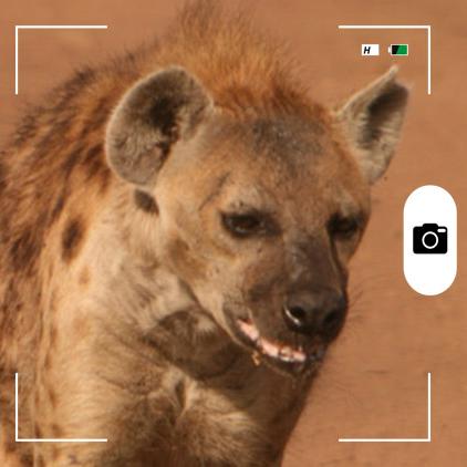 Composición hecha por Mongabay Latam a partir de una hiena manchada en la Zona de conservación de Ngorongoro. Foto: Rhett A. Butler / Mongabay