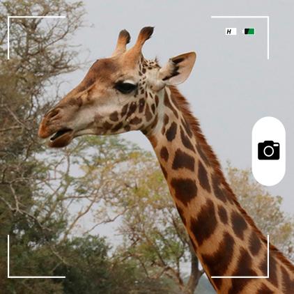 Composición hecha por Mongabay Latam a partir de una jirafa en el Parque Nacional Akagera, Ruanda. Crédito: Rhett A. Butler / Mongabay