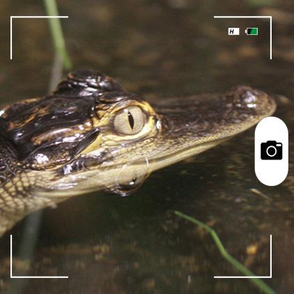 Composición hecha por Mongabay Latam a partir de un joven caimán del río Misisipi. Foto: Rhett A.Butler / Mongabay.