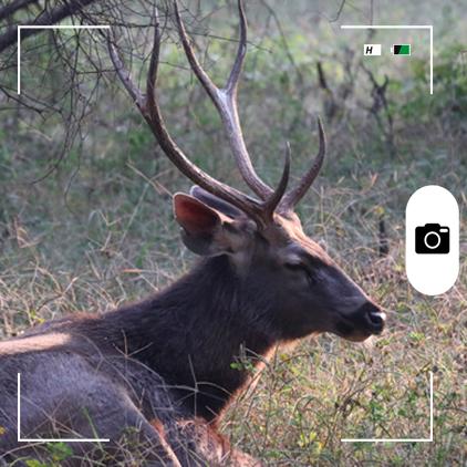 Composición hecha por Mongabay Latam a partir de un ciervo sambar en la India. Foto: Rhett A. Butler / Mongabay.