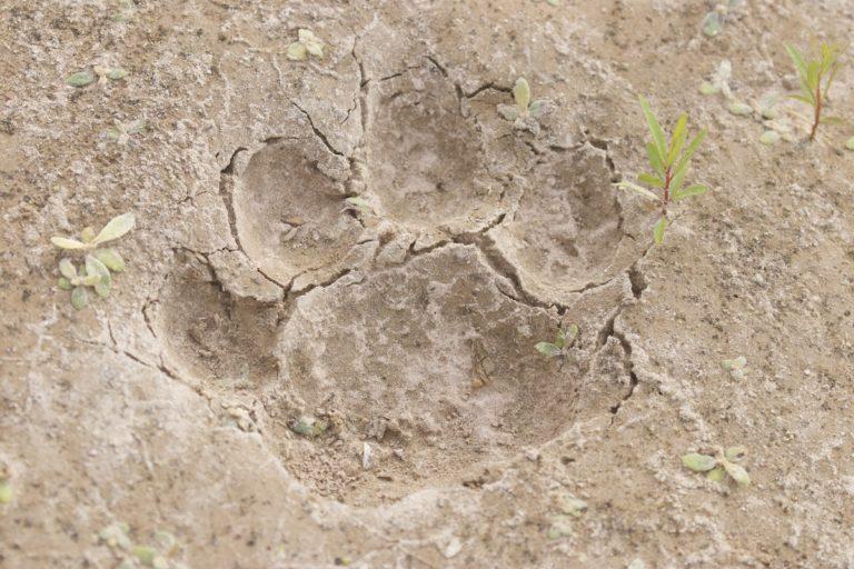 gran Chaco jaguares