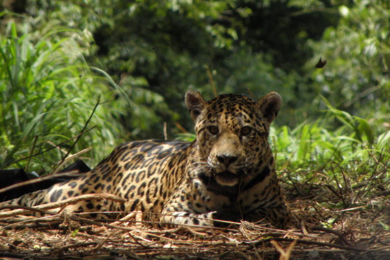 jaguares chaco