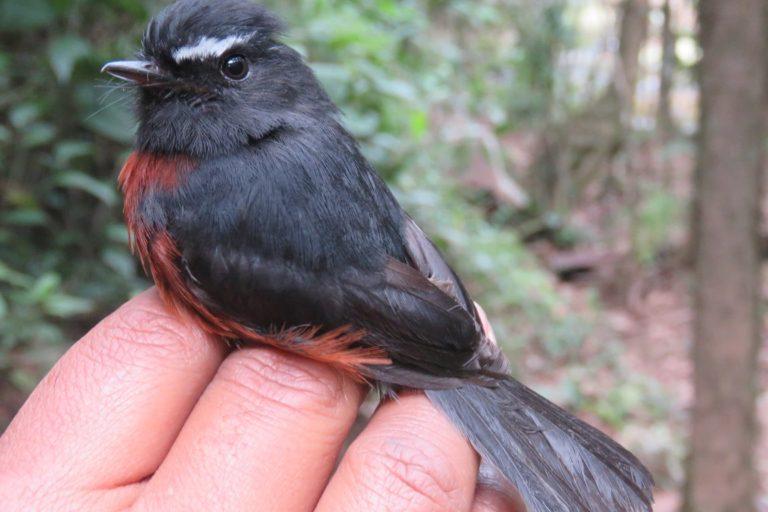 El pitajo negro o atrapamoscas (Ochthoeca cinnamomeiventris), es una de las especiaes que se encuentra en la reserva. Foto: Cortesía de Reserva Natural Los Yátaros.