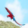 Esteros de Iberá. Hace más de un siglo que no se veían guacamayos rojos volando los Esteros de Iberá. Foto: Matias Rebak - Tompkins Conservation.
