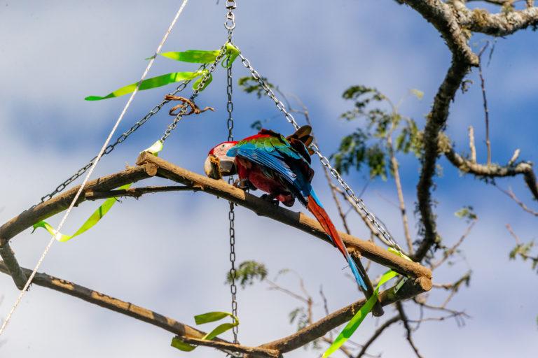 Esteros de Iberá. Los guacamayos rojos suelen prevenir de zoológicos argentinos. Foto: Matias Rebak - Tompkins Conservation.