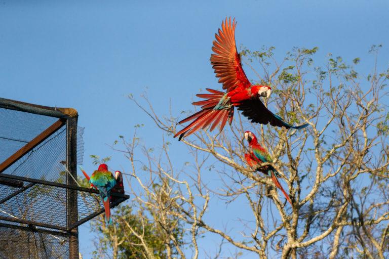 Esteros de Iberá. Los guacamayos liberados ya están anidando en los Esteros de Iberá. Foto: Matias Rebak - Tompkins Conservation.