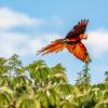 Esteros de Iberá. Se han liberado 15 guacamayos en los Esteros de Iberá. Foto: Matias Rebak - Tompkins Conservation.