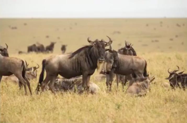 Los ñus viven en manadas y migran constantemente. Imagen: Meredith Palmer.