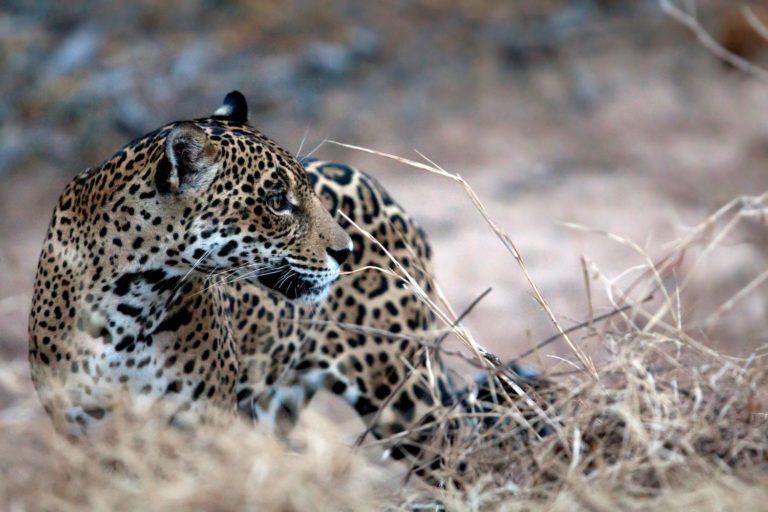 jaguares bolivia