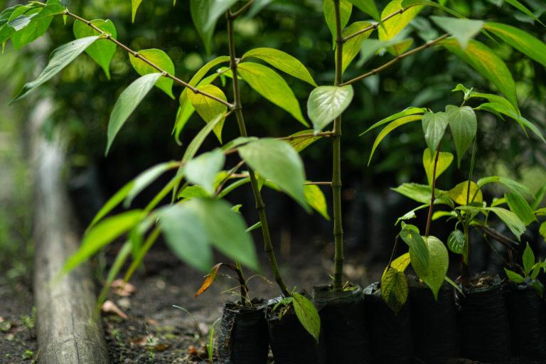 El conocimiento ancestral les permite reconocer las bondades de las plantas. Marlon del Águila / Conservación Internacional.