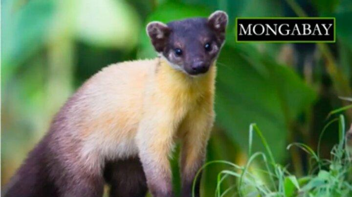 La marta de garganta amarilla es una especie que habita en asia. Foto: Jonathan Moore.