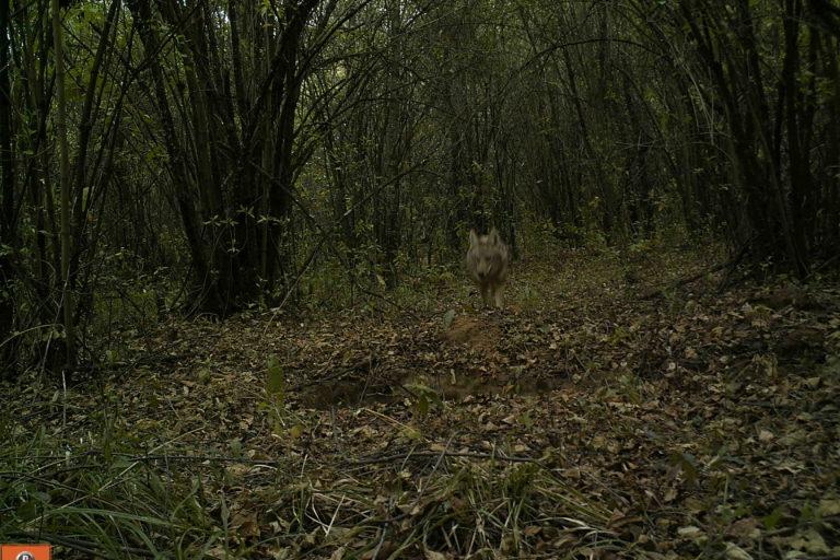 Coyotes en América. Coyote en el estado de Michoacán, México. Foto: Octavio Monroy.