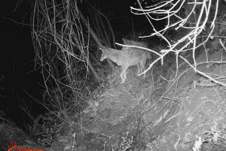 Coyotes en América. Coyotes en el estado de Puebla México. Foto: Octavio Monroy.