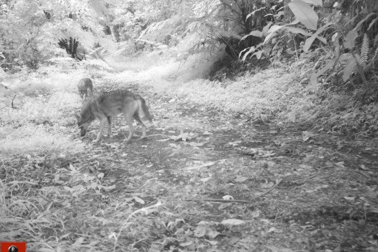 Coyotes en América. Los coyotes pueden vivir en jaurías. Foto: José Fernando González-Maya.