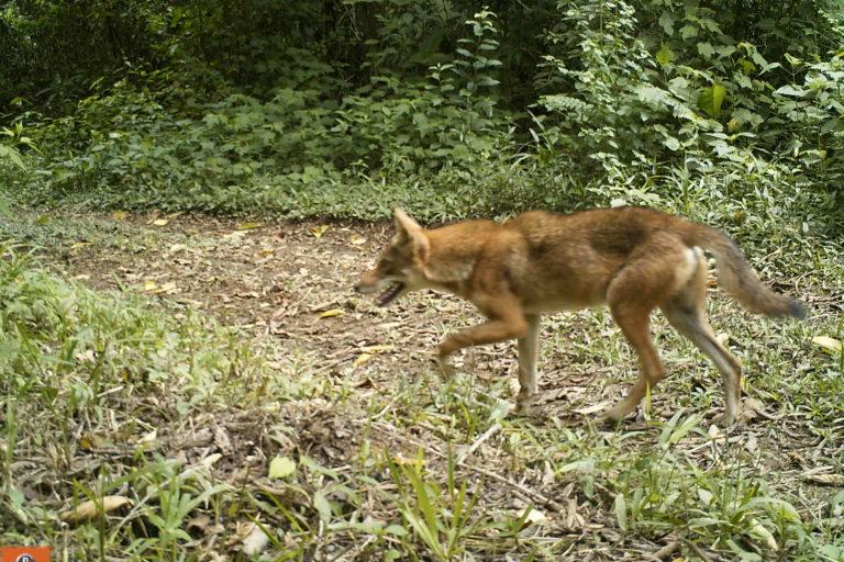 Coyotes en América. El coyote se ve beneficiado por hábitats intervenidos por el hombre. Foto: José Fernando González-Maya.