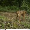 Coyotes en América. El coyote puede vivir desde el desierto hasta en el páramo. Foto: José Fernando González-Maya.